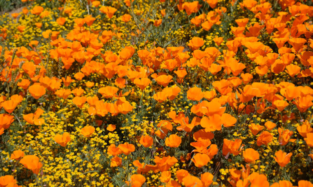 Have Trouble Sleeping? Try California Poppy