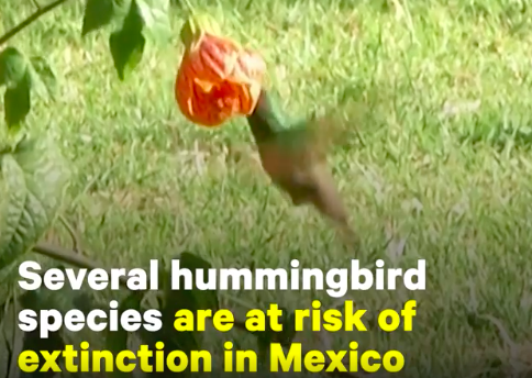 These urban gardens in Mexico were designed to save hummingbird species at risk of extinction